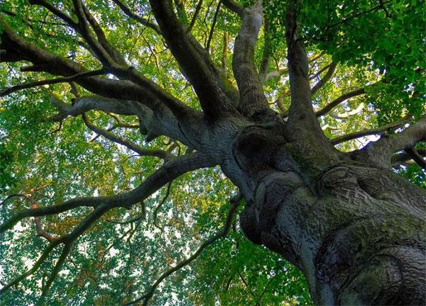 """5 вековното дърво """"Големия Бук"""" в природен парк """"Българка"""""""